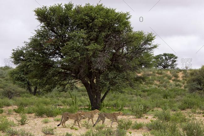 Cheetahs in the Kgalagadi National Park