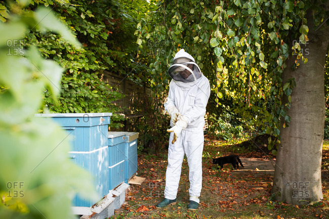 Beekeeper putting on protective gloves and preparing to inspect beehives