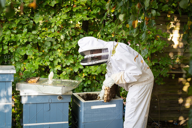 Beekeeper wearing protective clothes inspecting beehives