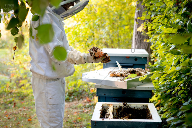 Beekeeper harvesting honeycomb from beehive