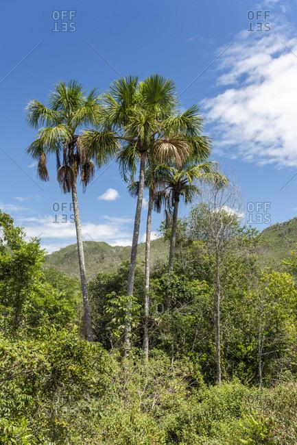 Beautiful landscape with typical cerrado vegetation and buriti palm trees Mauritia flexuosa in Chapada dos Veadeiros, Goias, Brazil