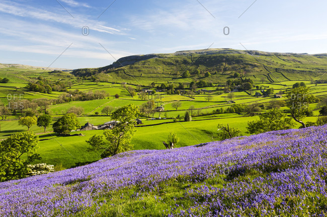 Bluebells growing on a limestone hill in the Yorkshire Dales National Park, UK.