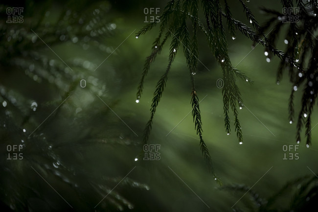 Close-up of raindrops on pine tree branches, Arashiyama, Kyoto, Japan