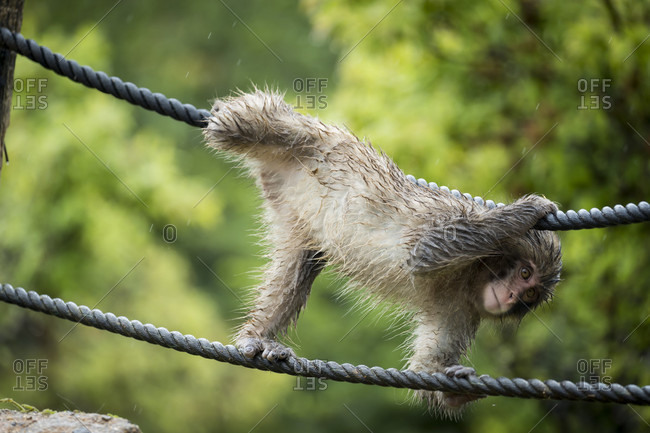 Young wet monkey playing on ropes, Arashiyama, Kyoto, Japan