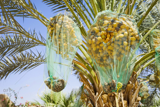 Date palm tree with nets covering ripe fruit, Wadi Rum, Aqaba Governorate, Jordan