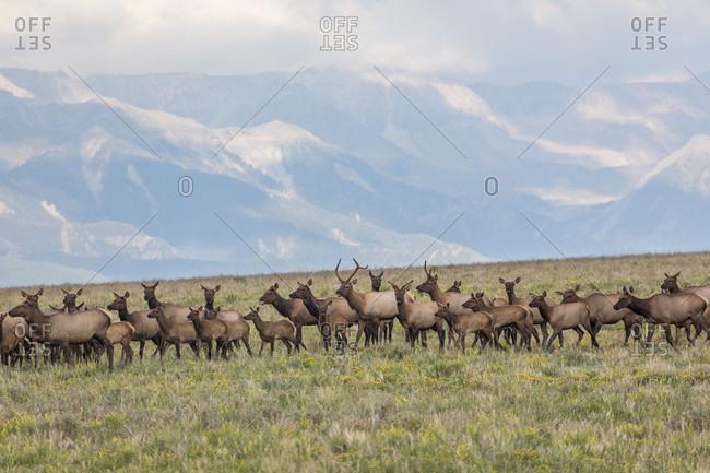Herd of elk in field in mountains, Specie Mesa, Colorado, USA
