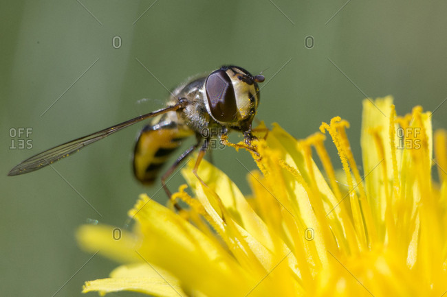 Close up on bee collecting pollen on yellow dandelion, Jackson Hole, Wyoming, USA