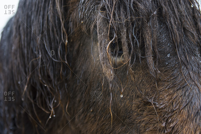 Head of brown wet Icelandic horse looking at camera, Hringvegur, Iceland