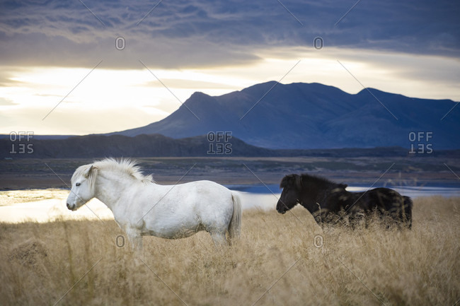 White Icelandic horse and black foal roaming in foxtail field with lake and mountain in background, Hvitserkur, Iceland