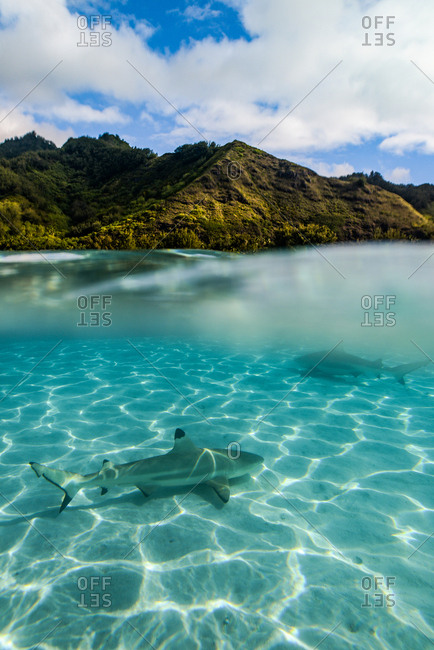 Blacktip reef shark in shallow, clear blue tropical water and island in distance