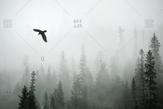 Bird flying through slight snow and fog in forest, Banff National Park, Alberta, Canada