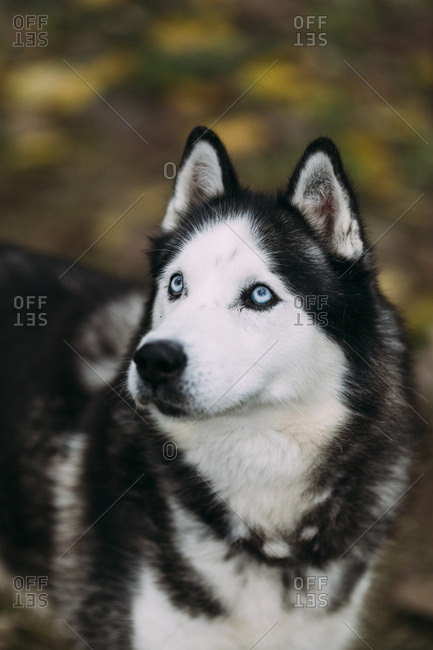 Portrait of a Siberian husky dog with blue eyes