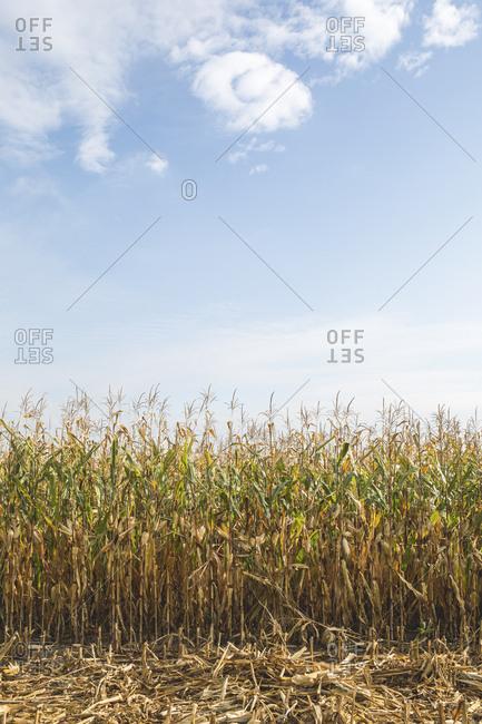 Cornfield at harvesttime