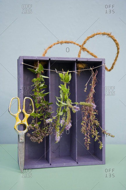 Drying spices in old case of vine- oregano- pepper mint and savory- pruner