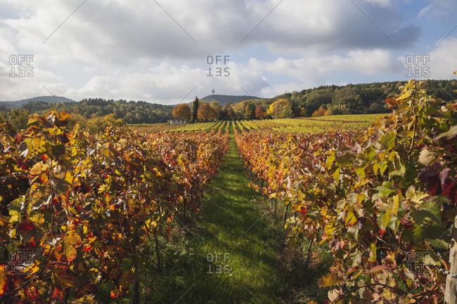 Germany- Rhineland-Palatinate- Weisenheim am Berg- vineyards in autumn colours- German Wine Route