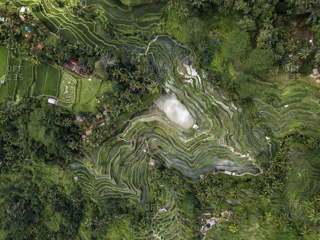 Indonesia- Bali- Ubud- Tegalalang- Aerial view of rice fields- terraced fields