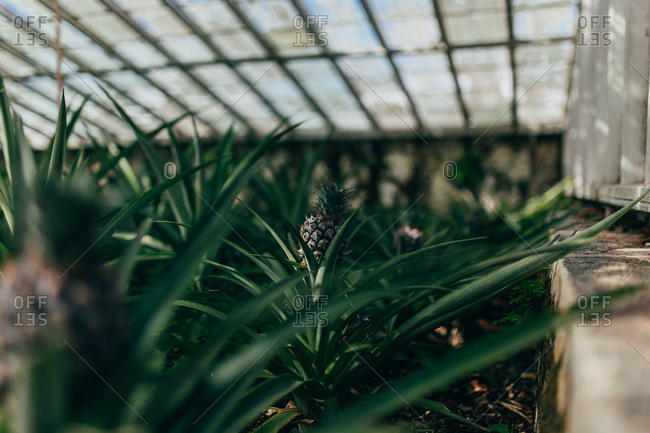 Pineapples growing in greenhouse