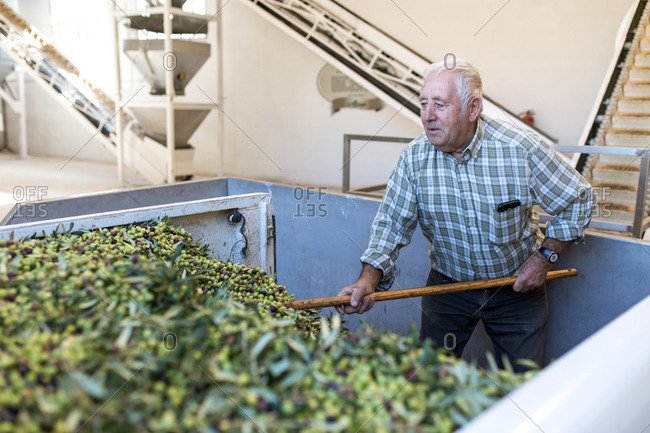 Older man unloading and working a load of olives