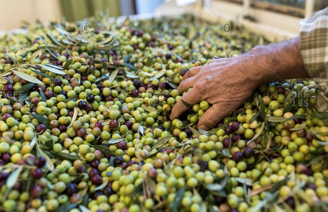 Hands examine olives