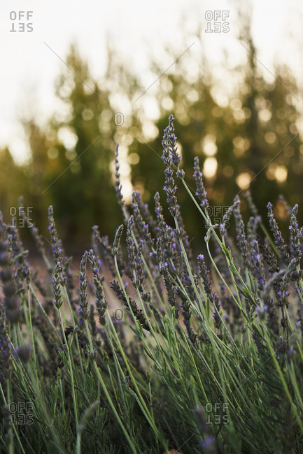 Lavender flowers blooming in meadow