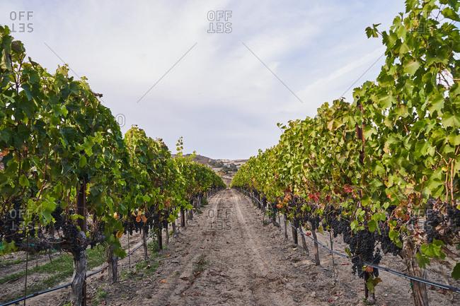 Dirt road through vineyard