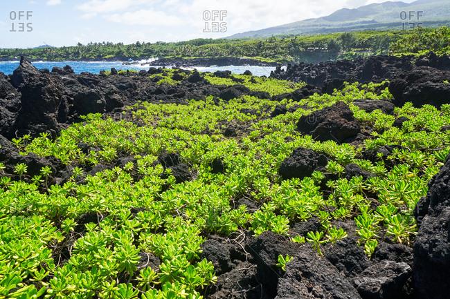 Green plants on the coast of Hana, Maui, Hawaii