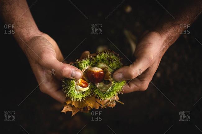 Crop hands peeling chestnuts