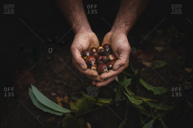 Crop dirty hands holding handful of fresh chestnuts over forest ground