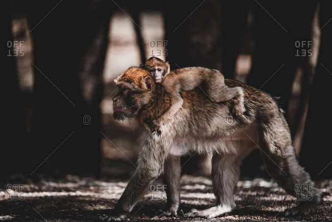 Side view of mother monkey walking on ground and carrying little baby