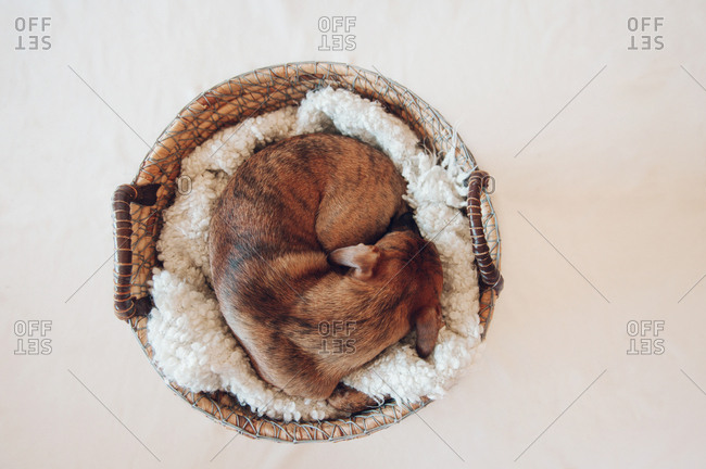 Adorable little brown puppy sleeping in cozy wicker basket on white background