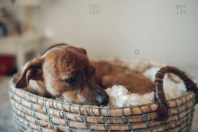 Adorable little brown puppy in cozy wicker basket on white background