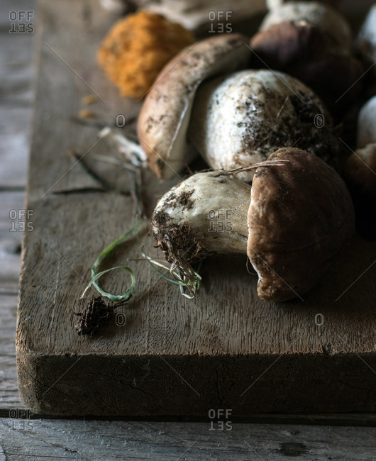 Closeup shot of heap of freshly collected boletus edulis mushrooms with roots and dirt