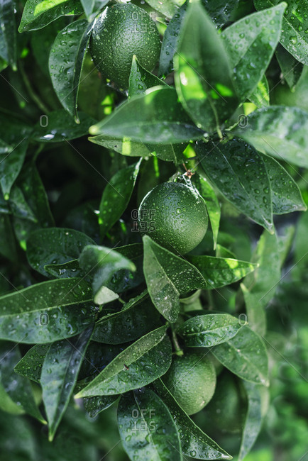 Closeup shot of small green orange covered with drops of water growing on green tree in garden