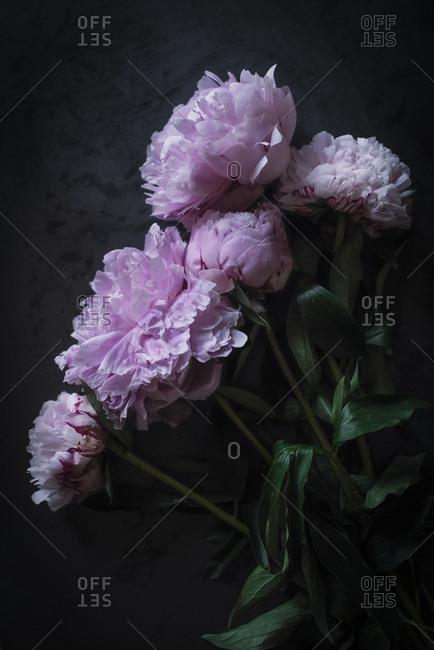 Bunch of pretty pink peonies standing near black wall in dark room