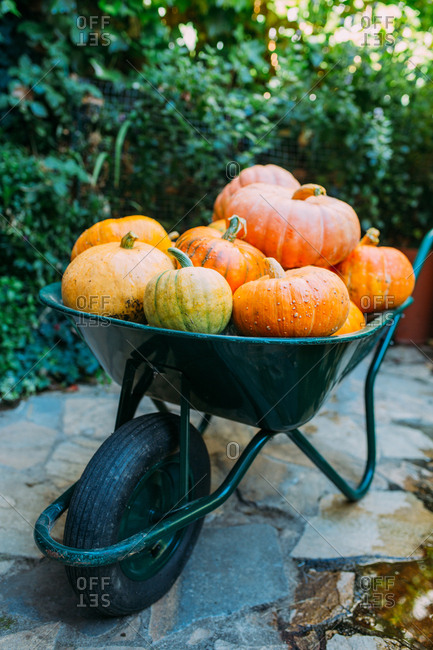 Harvest of pumpkins in a wheelbarrow