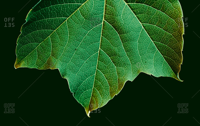 Macro view of leaf texture