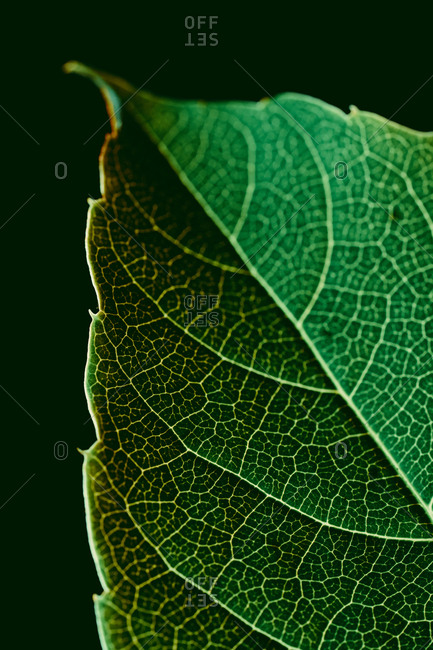 Closeup macro shot of green leaf with white veins on black background