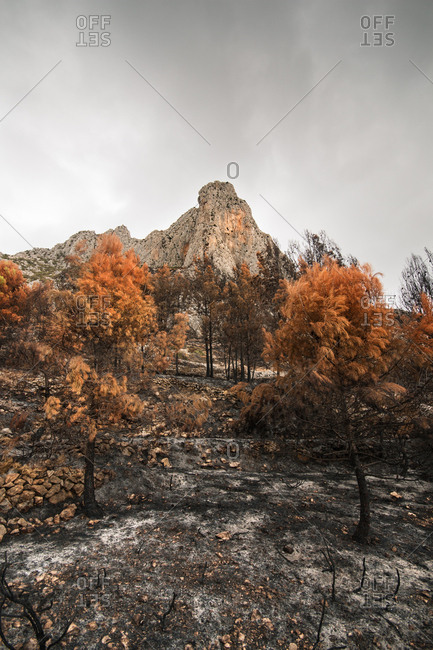 Burned trees in a wildfire in the forest