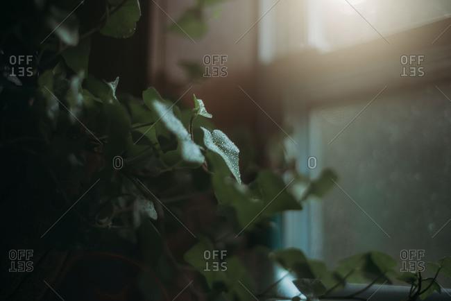 Green plant with dew drops growing near window