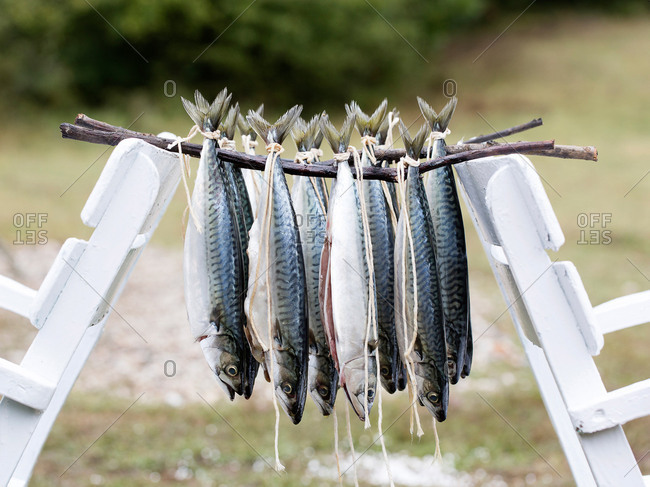 Istanbul, Turkey - September 28, 2017: Atlantic Mackerel hanging on sticks