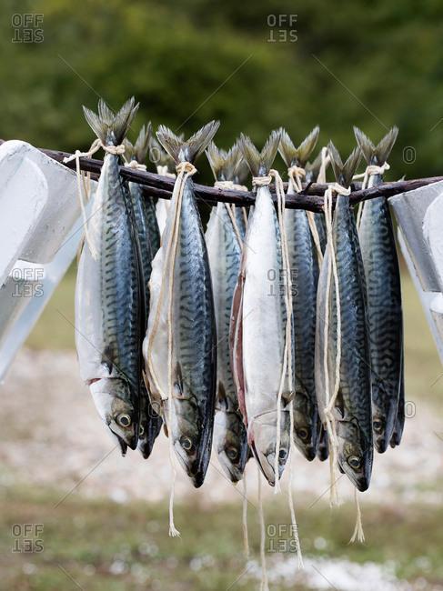Istanbul, Turkey - September 28, 2017: Atlantic Mackerel hanging on sticks