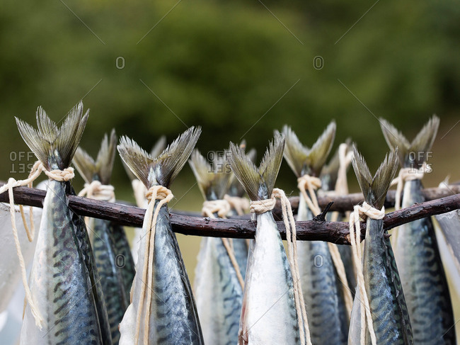 Istanbul, Turkey - September 28, 2017: Close-up of Atlantic Mackerel hanging on sticks