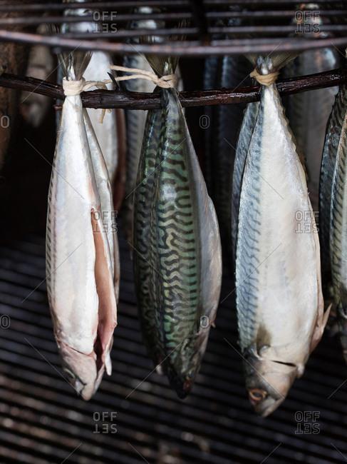Istanbul, Turkey - September 28, 2017: Atlantic Mackerel hanging ina smoker
