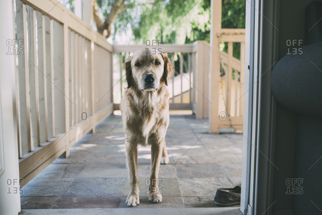 Portrait of dog standing at doorway
