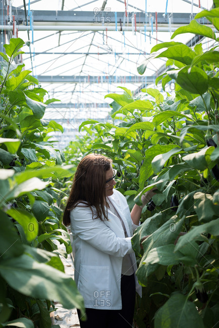 Female scientist examining plants in the greenhouse