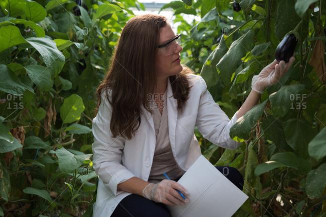 Female scientist examining aubergine in greenhouse