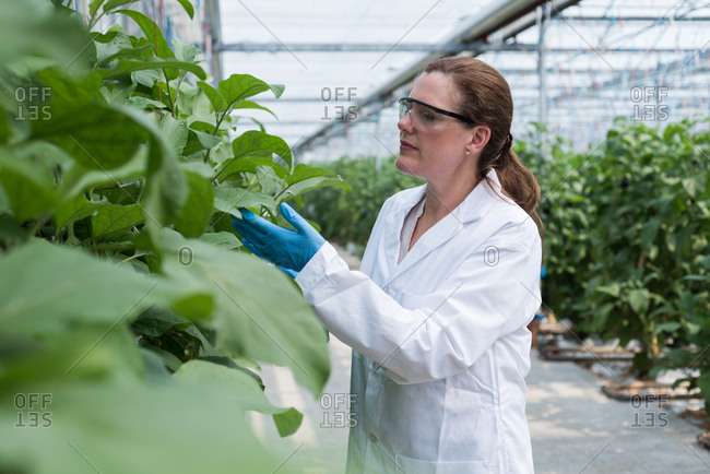 Female scientist checking plants in greenhouse