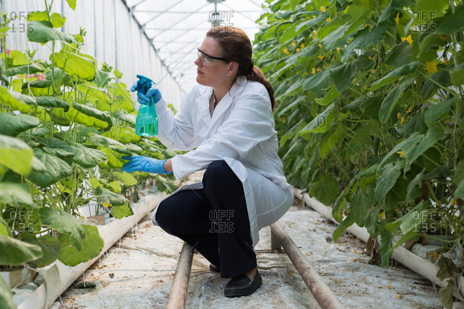 Female scientist watering plants in greenhouse