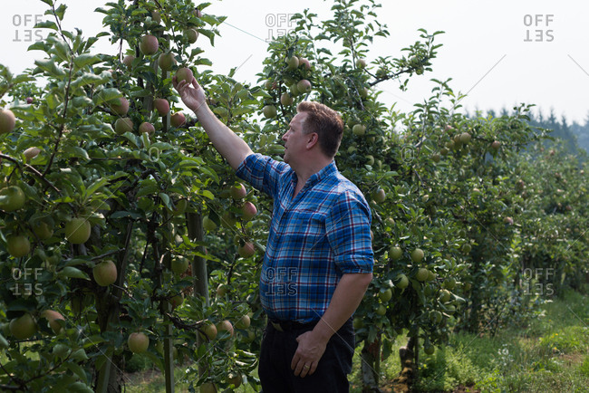 Technician checking fruits on the plants in greenhouse