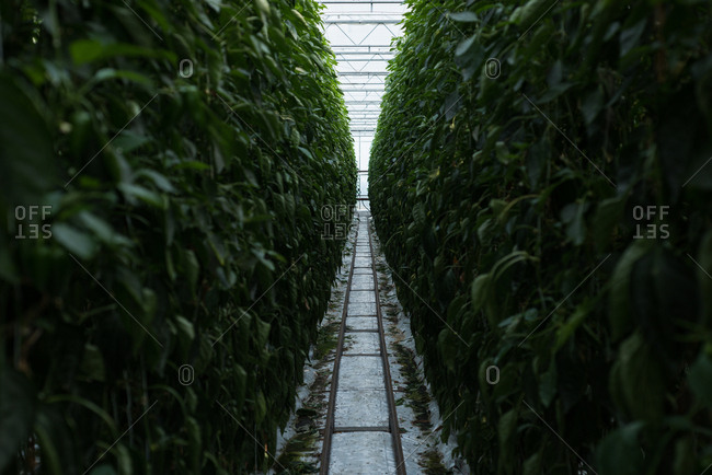 Narrow path passing through the plantation in greenhouse